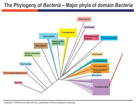 PPT - Bacteria : The Proteobacteria PowerPoint